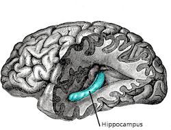 Cannabis : altérations de l'hippocampe et pertes de mémoire chez les gros fumeurs