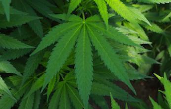 Le cannabis thérapeutique réduit les décès par overdose de médicaments