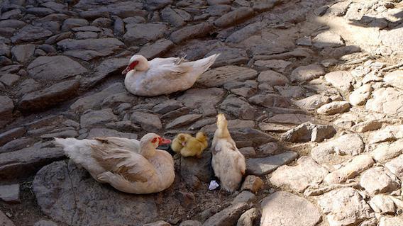 Grippe aviaire : sept foyers identifiés dans le Tarn