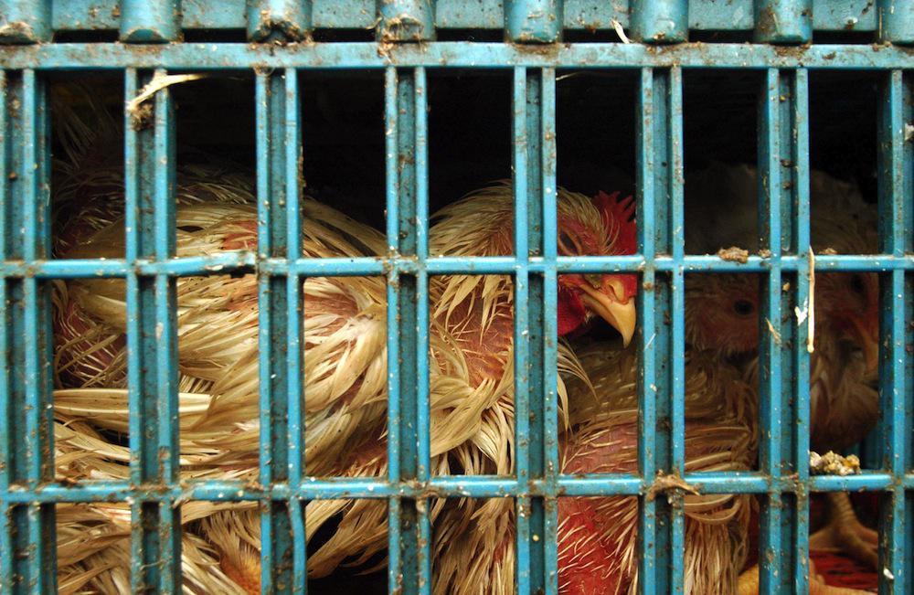 Grippe aviaire : l'OMS rappelle les principes de précaution