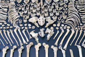 Nos ancêtres avaient des os plus solides