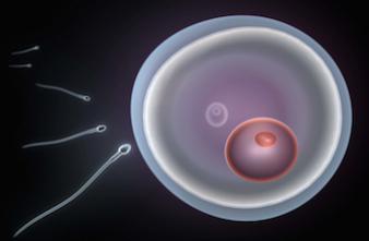 Le mystère de la fusion du spermatozoïde avec l'ovule décrypté