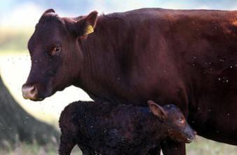 Scandale de la vache folle : les victimes privées de procès