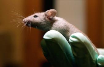 Les chercheurs hommes perturbent les souris de laboratoire
