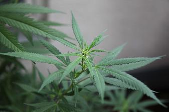 La prégnénolone bloquerait l'addiction au cannabis