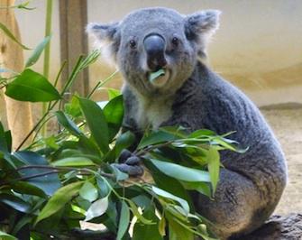 Sida : sur la piste de la guérison grâce aux koalas