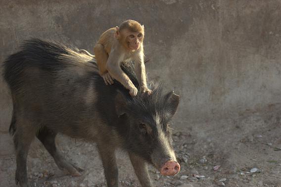 Greffe : un babouin vit 945 jours avec un cœur de porc