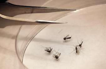 Chikungunya : un premier cas autochtone aux Etats-Unis