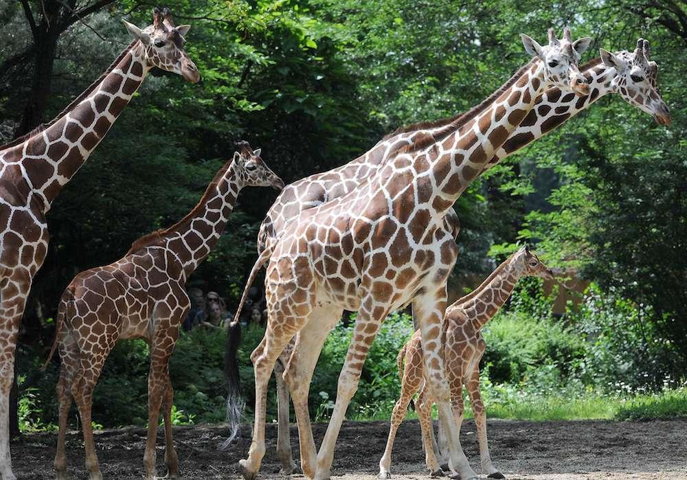 Anatomie : le secret du ligament qui fait tenir les girafes debout