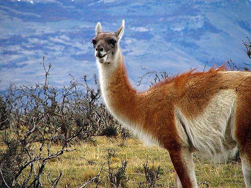 Alzheimer : des anticorps de lama pour détecter les lésions