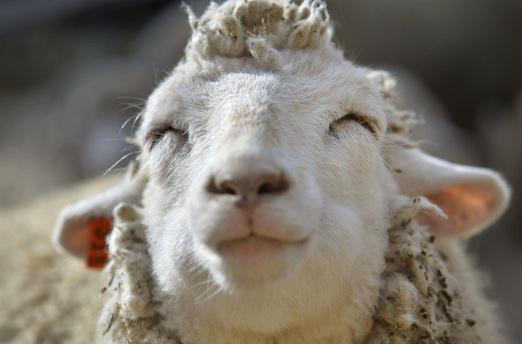 La tremblante du mouton susceptible d'être transmise à l'homme