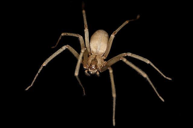 Pyrénées-Orientales : des morsures d'araignées provoquent des nécroses