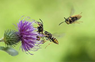 L'allergie aux piqûres d'insectes serait en augmentation