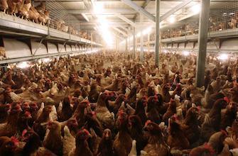 3 volailles vendues sur 5 sont résistantes aux antibiotiques