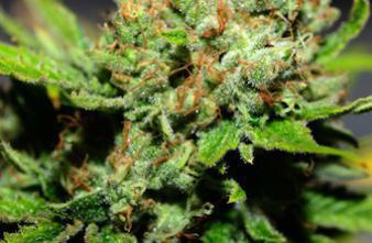 Des chercheurs belges décrivent l'allergie au cannabis