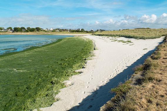 Décès du joggeur : des médecins confirment l'intoxication aux algues vertes