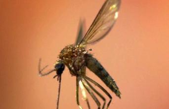 Paludisme : une forme plus mortelle genre se propage en Asie