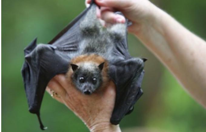 Ebola : le patient zéro contaminé par les chauves-souris