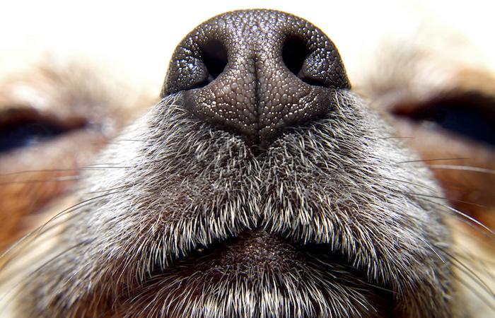 L'odorat de l'Homme est équivalent à celui du chien