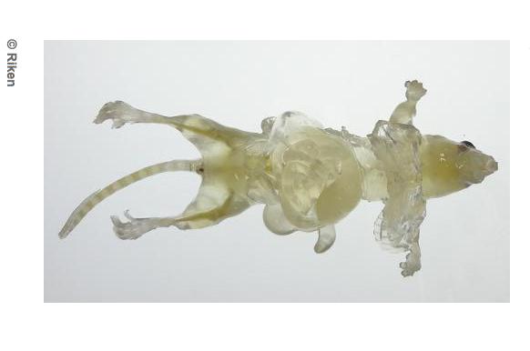 Une souris transparente pour mieux étudier les organes