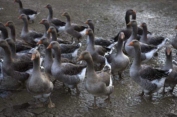 Grippe aviaire :  trois nouveaux cas en Dordogne et dans les Landes