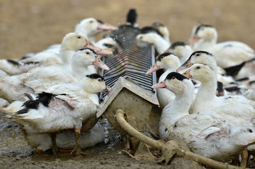 Grippe aviaire : la France n'avait jamais été confrontée à ce virus