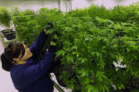 L'Etat de New York autorise le cannabis thérapeutique