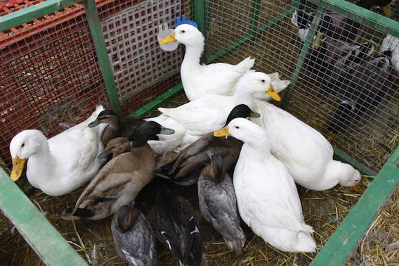 Stéphane Le Foll : l'épidémie de grippe aviaire est sous contrôle