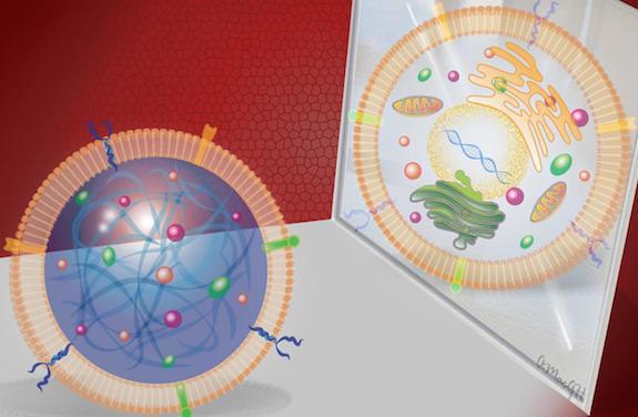Cellules souches : une forme synthétique pour réparer le coeur