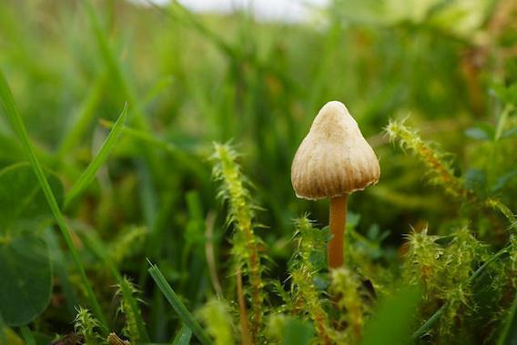 Cancer : la dépression calmée par les champignons hallucinogènes