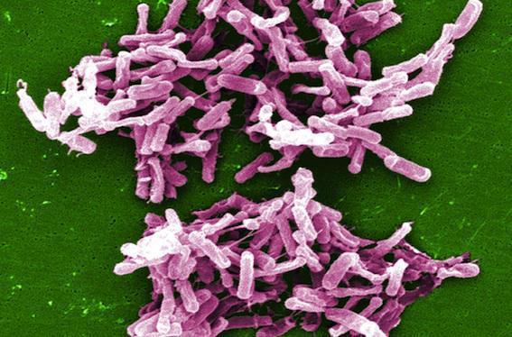 Infection à Clostridium difficile : un traitement pour éviter la récidive