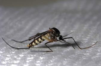 Moustique tigre : 1 patient sur 2 ne s'estime pas guéri 2 ans après