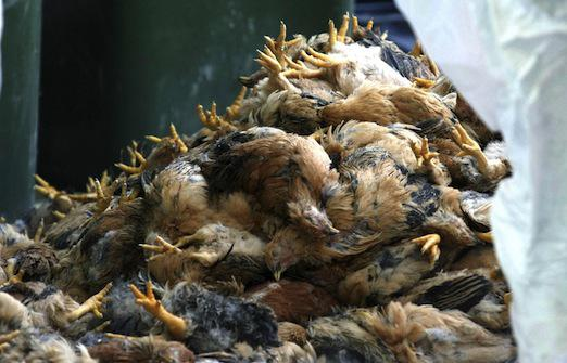 Grippe aviaire : le Canada abat 146 000 volailles
