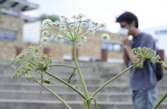 Allergies : 4 plantes invasives dans le collimateur des députés