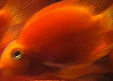 Un poisson rouge a été opéré avec succès d'une tumeur au cerveau