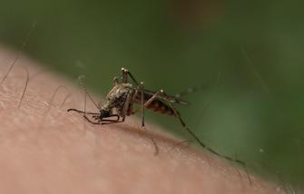Chikungunya : deux cas confirmés aux Antilles