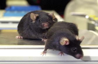 Mémoire : de faux souvenirs implantés à des souris