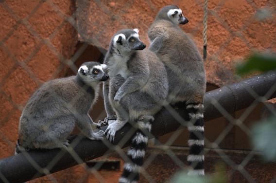 Zoo de Montpellier : un agent a contracté la fièvre Q
