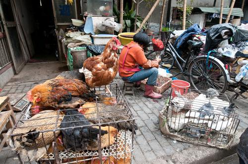 Grippe aviaire en Chine : 40 % des patients  décèdent