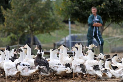 Grippe aviaire : la zone d'abattage élargie à 609 communes