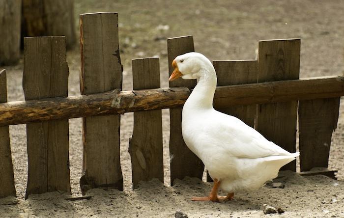 Grippe aviaire : la fin de l'épidémie est déclarée