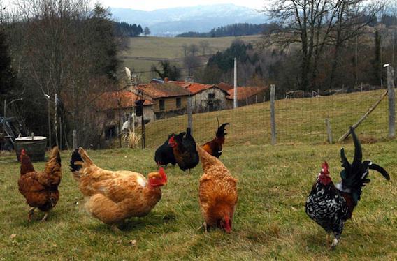 Grippe aviaire : un premier cas confirmé en Haute-Garonne