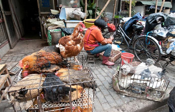 Grippe aviaire : 61 décès en Chine en un mois