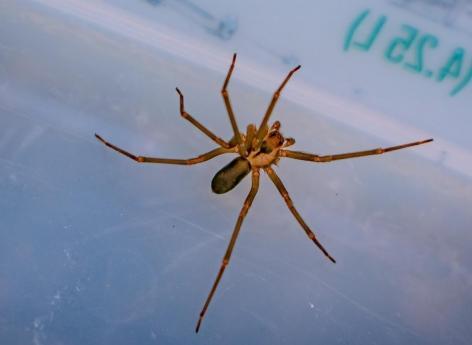 Grand-Est: un homme mordu par une araignée recluse a failli perdre son bras