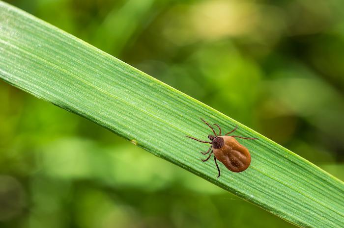 Maladie de Lyme : comment se protéger des tiques alors que nous entrons dans leur période d'activité maximale ?