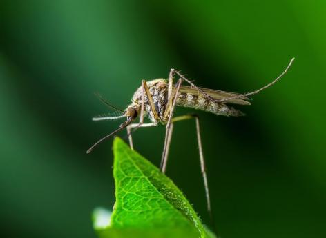 Ce nouveau moustique OGM ne voit pas les humains... et ne les pique plus !