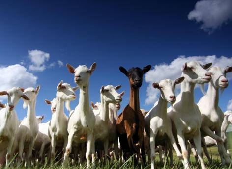 Cancer : des chèvres génétiquement modifiées pour fabriquer des médicaments dans leur lait