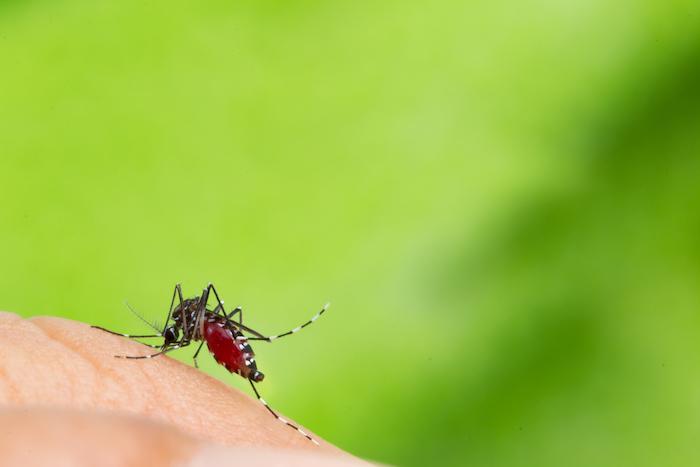 Zika, dengue, chikungunya : la surveillance systématique du moustique tigre est devenue nécessaire en France
