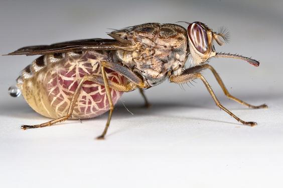 Maladie du sommeil : le parasite dans la peau