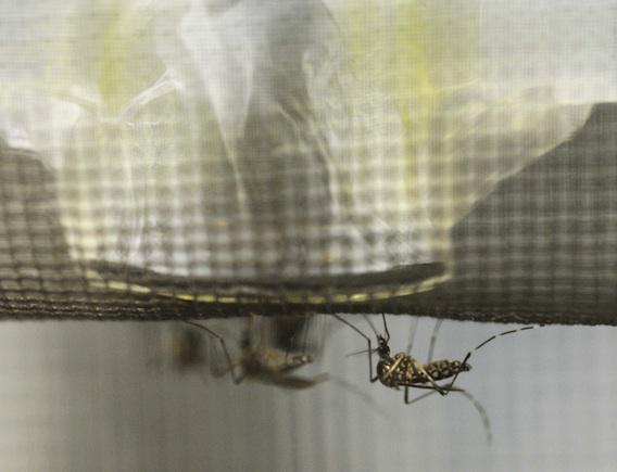 Le gouvernement fait la chasse au moustique-tigre
